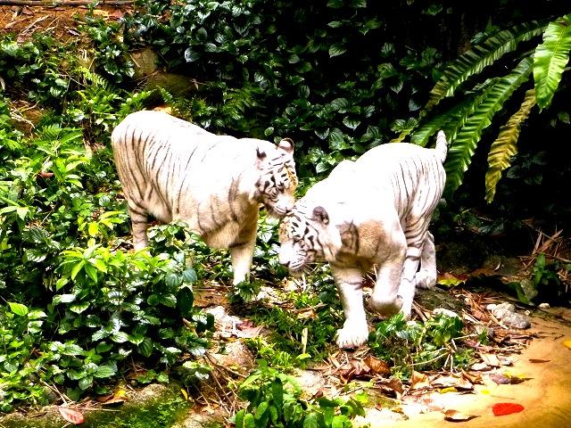 シンガポール動物園-singapore-zoo-ホワイトタイガー