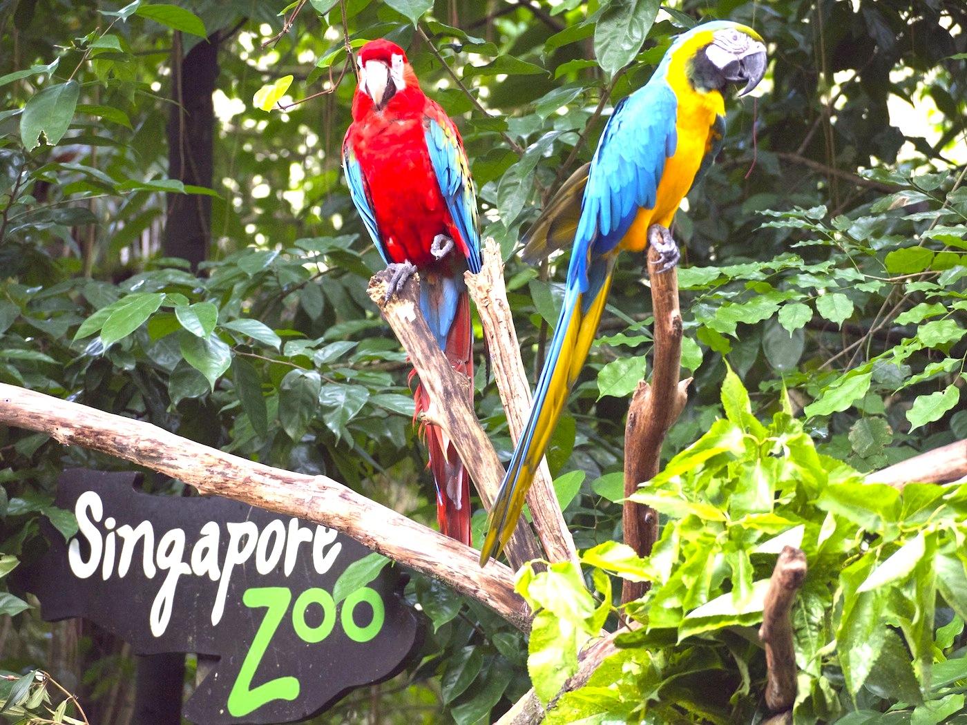 シンガポール動物園-singapore-zoo-オウム
