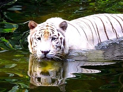 シンガポール動物園-singapore-zoo-ホワイトタイガー-1