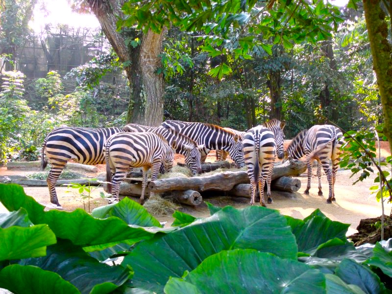 シンガポール動物園-singapore-zoo-シマウマ