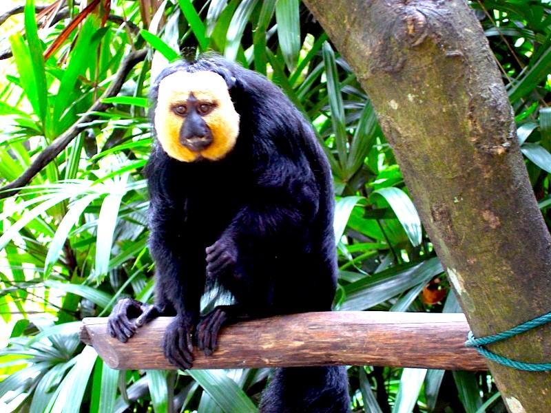 シンガポール動物園-singapore-zoo-オラウータン